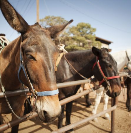 The History of Mules at the Grand Canyon